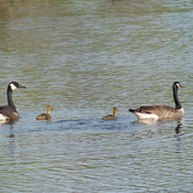 First goslings