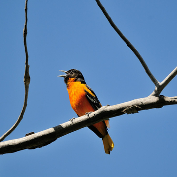 Singing Oriole