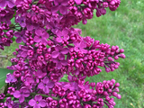 Lilacs - Courtice, ON, CA
