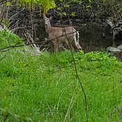 Scarborough Deer