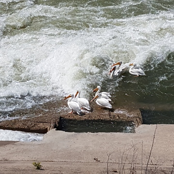 pelicans on the river