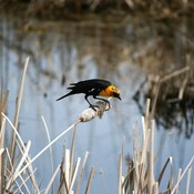 Yellow-headed blackbirds and red-winged blackbirds