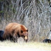 Brown Bear with 2 Black Cubs