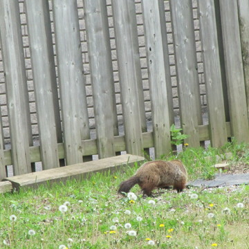 Groundhog in neighbourhood