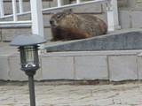 Groundhog in neighbourhood - L9C 4K1, Hamilton, ON,