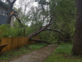 Wind knocked my tree down into my other tree.  - The Highlands, AB