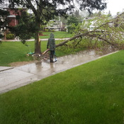 tree blown down by strong winds in NE edmonton