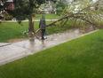 tree blown down by strong winds in NE edmonton - Edmonton, AB