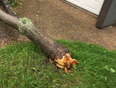 Tree broke in wind - Callingwood, AB, CA