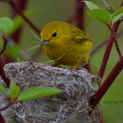 Yellow warbler nest building