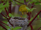 Yellow warbler nest building - 1 Leslie St, Toronto, ON M4M 3M2,