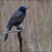 Grackle, Elliot Lake.