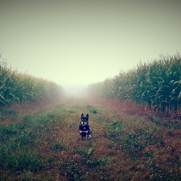 Between the Corn