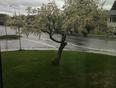 Plum tree - Cold Lake, AB, CA