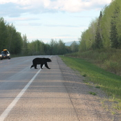 Black Bear Crossing - Alaska Highway