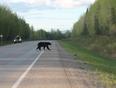 Black Bear Crossing - Alaska Highway - Fort Nelson, BC