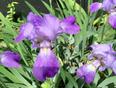 Sproating Iris!