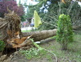 The wind began to howl. This tree fell out side our bedroom.   - Salmon Arm BC