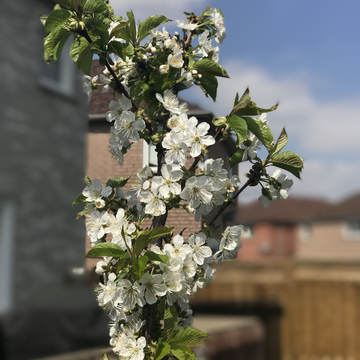 Our little cherry tree