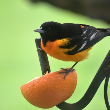 Orange and the Oriole