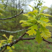 Baby Burr Oak Leaves