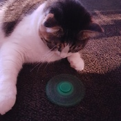 my cat enjoy playing spinner