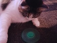 my cat enjoy  playing spinner  - London, ON