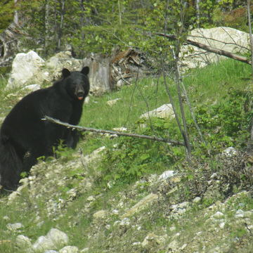 Black Bear near Thompson Falls (Golden BC)
