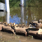 Mum and ducklings on sandbags at Kal Lake Coldstream BC