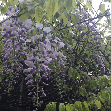 My Wisteria Lane in Brampton