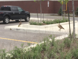 Geese family - Brampton, ON, CA