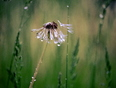 Rain on dandelions - Goderich, ON