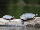 Painted Turtles - Fredericton, NB