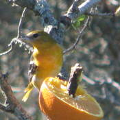 Colorful Baltimore Oriole