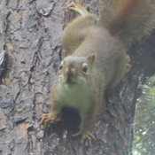 annoyed red squirrel