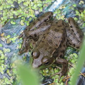 toad in the swamp