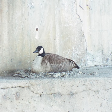 goose on a bridge