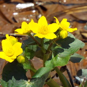 marsh marigold time