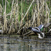 Northen Shoveler