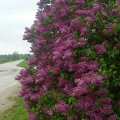 lilacs smell wonderful