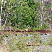 Pheasant on old tracks