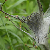 Tent caterpillars, Elliot Lake.