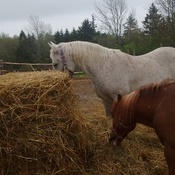 susie and jessie enjoying the hay