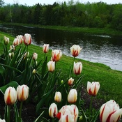 tulips by the river