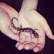 Yellow spotted salamander at the heart shaped pond
