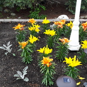 A Garden of Yellow & Orange Lillies