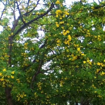 Medium tree with small yellow flowers