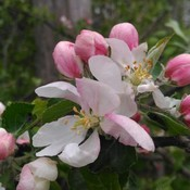 Wild apple blossoms