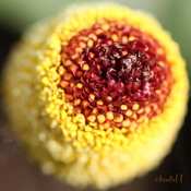 Spilanthes