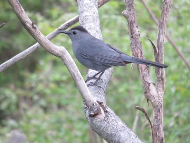 Gray Catbird Aurora, ON